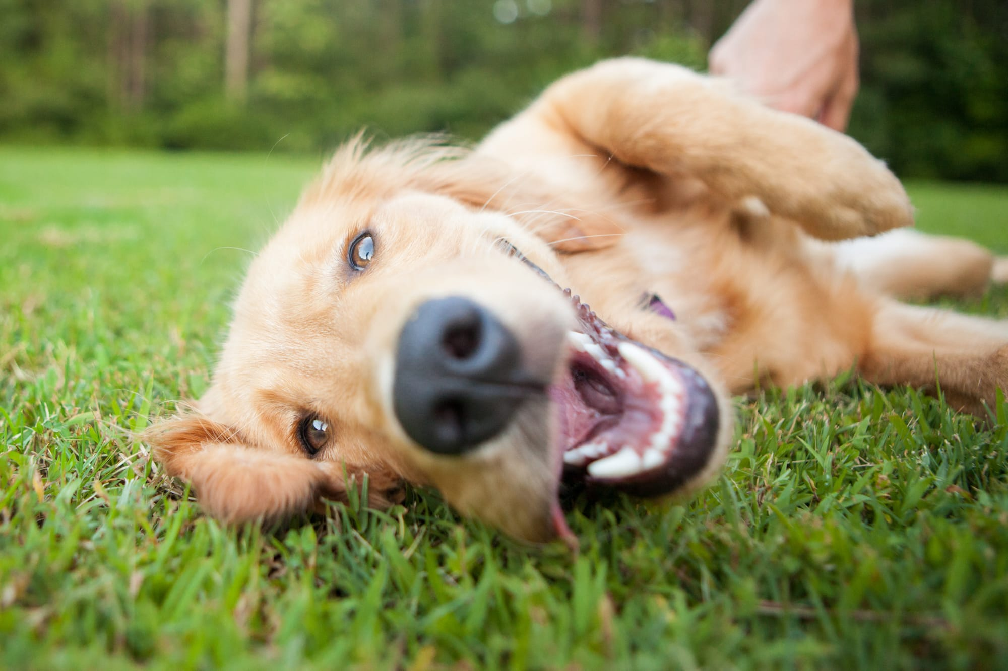 Golden retriever smiling in grass