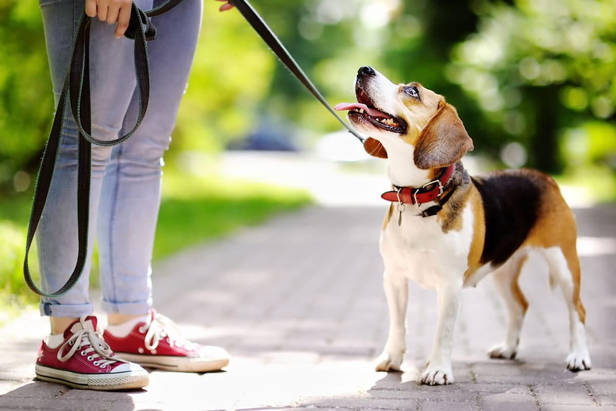 Beagle puppy on a leash