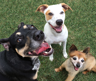 Three dogs smiling in the yard